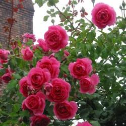 Trandafir cățărător New Parade