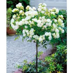 Trandafir pomișor Alb curgător