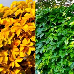 Viţă sălbatică (Parthenocissus YELLOW WALL)